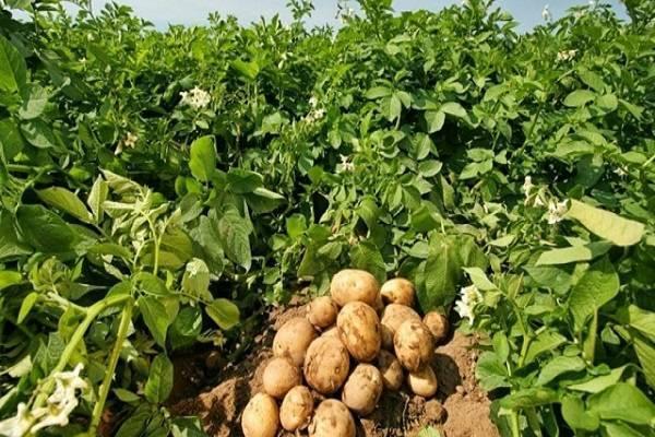 Картофельная ботва как удобрение – ценность по питательным характеристикам