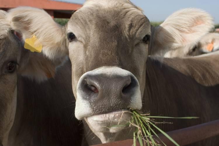 Что делать, если у коровы перестал работать желудок?