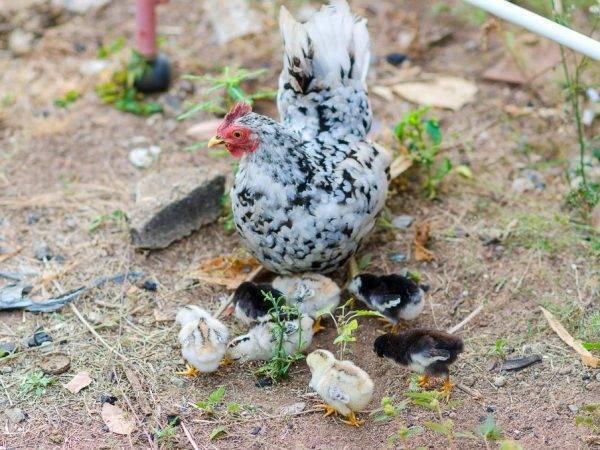 Куры породы амераукана — куры несущие голубые яйца