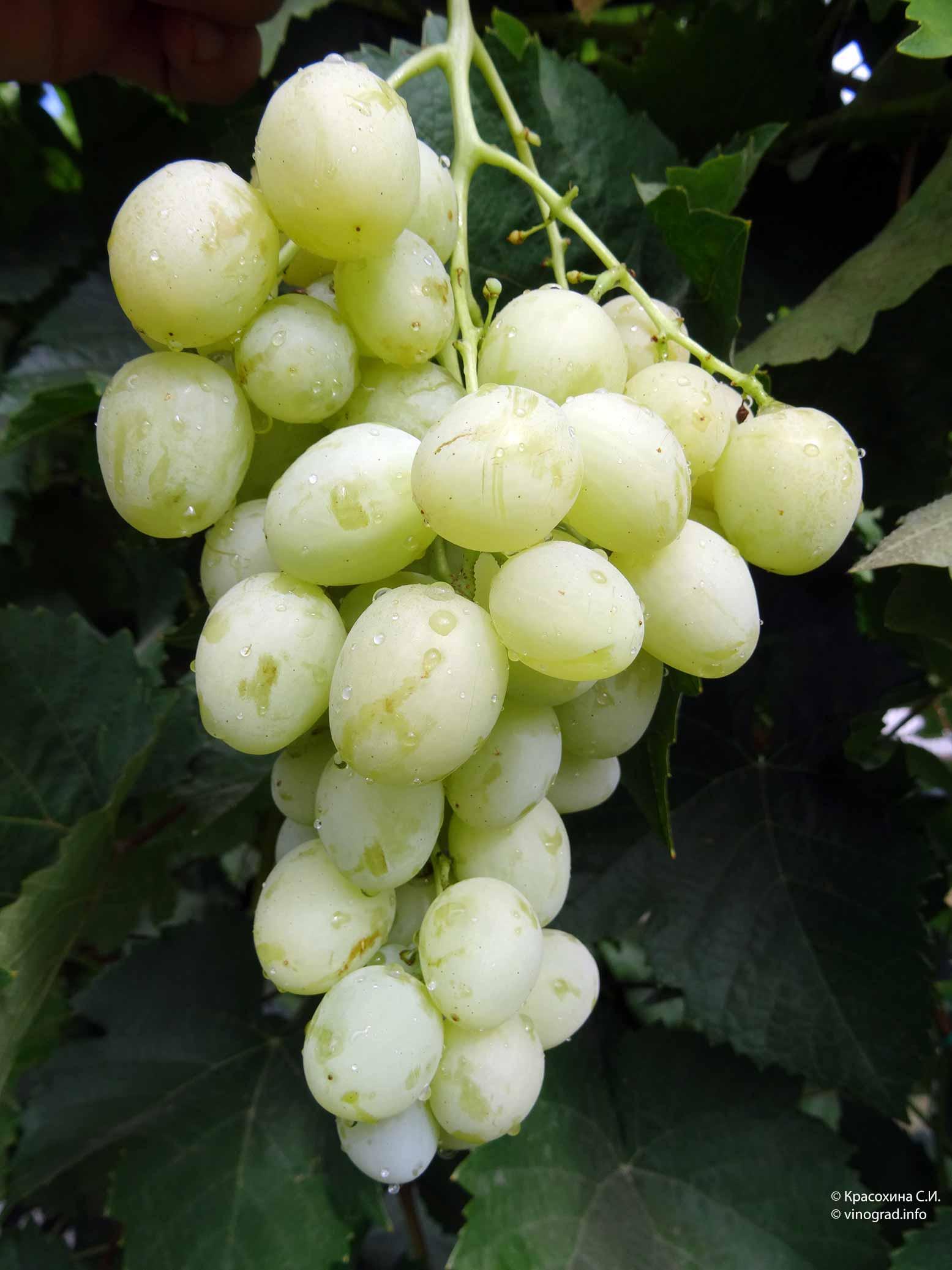 Виноград спонсор описание сорта фото отзывы видео | мой сад и огород