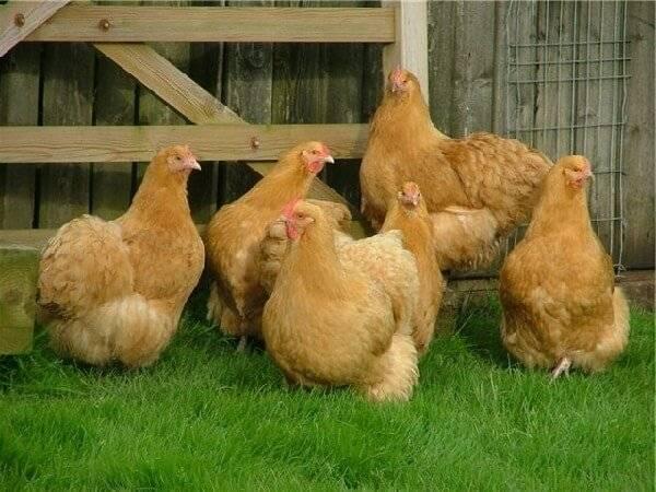 Мясо-яичные куры орпингтон