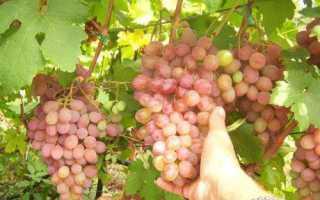 Описание сорта винограда румба: фото и отзывы | vinograd-loza