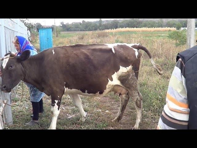 Температура тела у коровы: норма и антибиотики