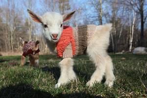 Кличка козы: как можно назвать девочку, какое имя дать мальчику, а также список вариантов по алфавиту и маркировка стада