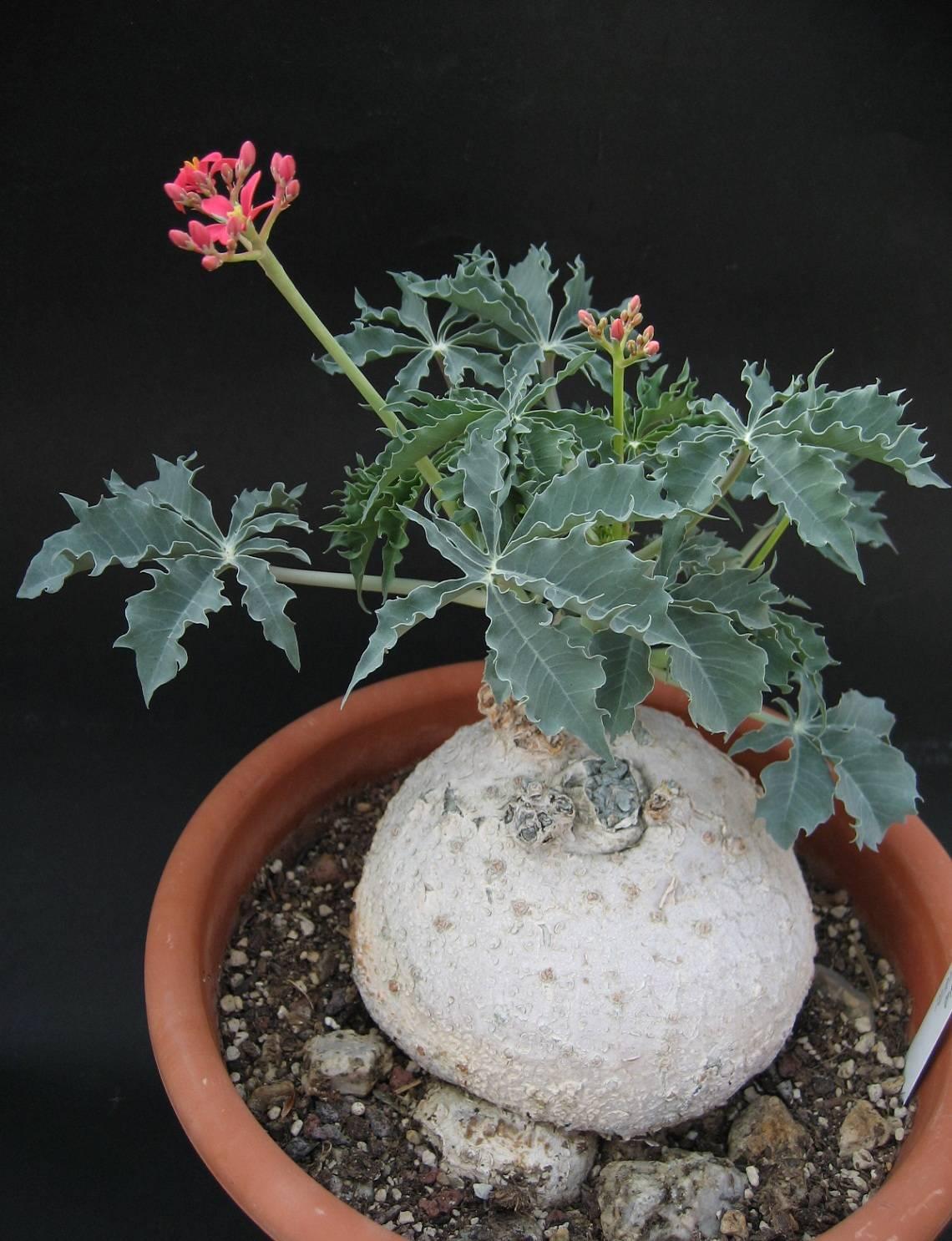 Ятрофа: уход в домашних условиях, размножение с фото| faterra.com