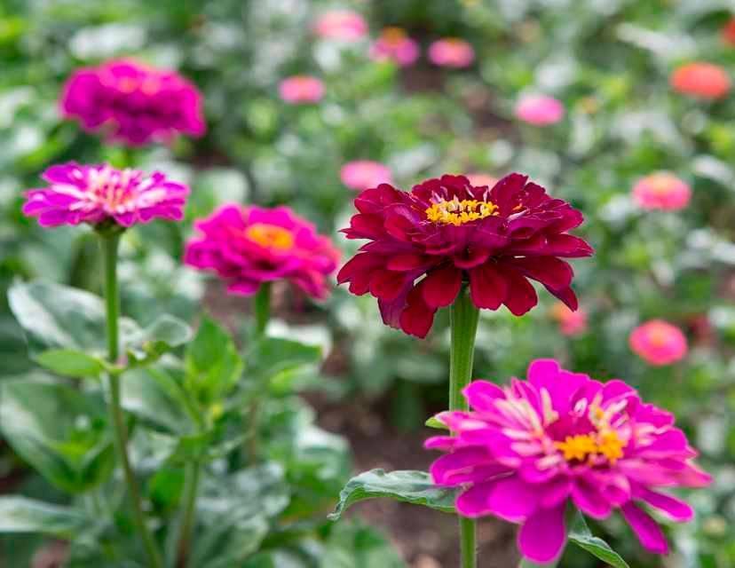 Цветок циния, посадка и уход, выращивание в открытом грунте
