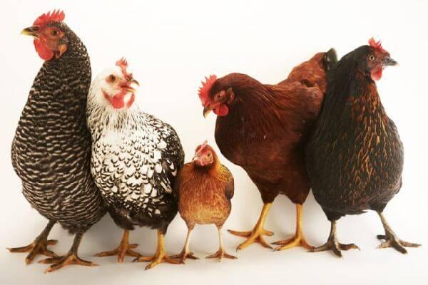 Распространенные и редкие породы кур