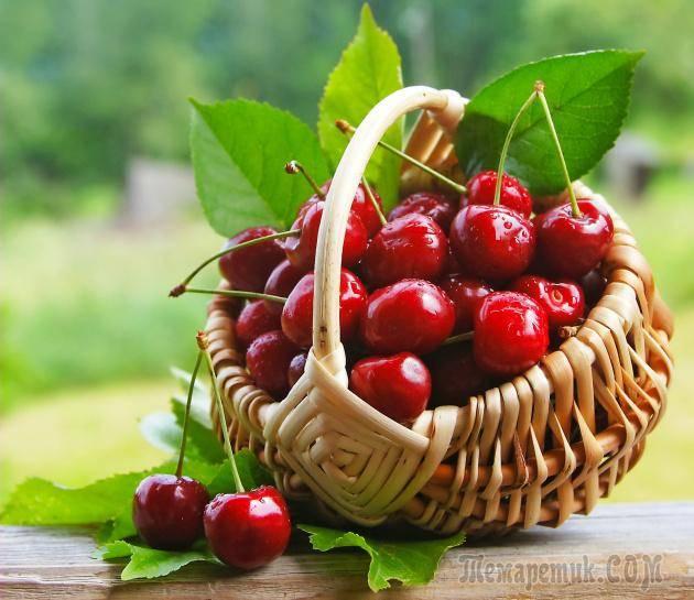 Описание и характеристика вишни сорта шоколадница