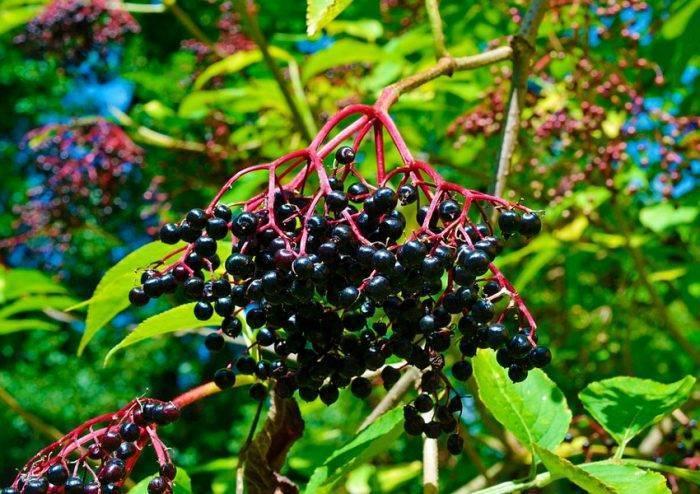 Бузина черная блэк бьюти (black beauty): описание и характеристика сорта, фото, отзывы, зимостойкость