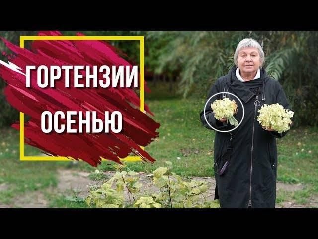 Гортензия: уход осенью и подготовка к зиме