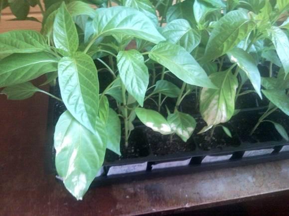 Откуда белые пятна на листьях томатов в теплице, что делать