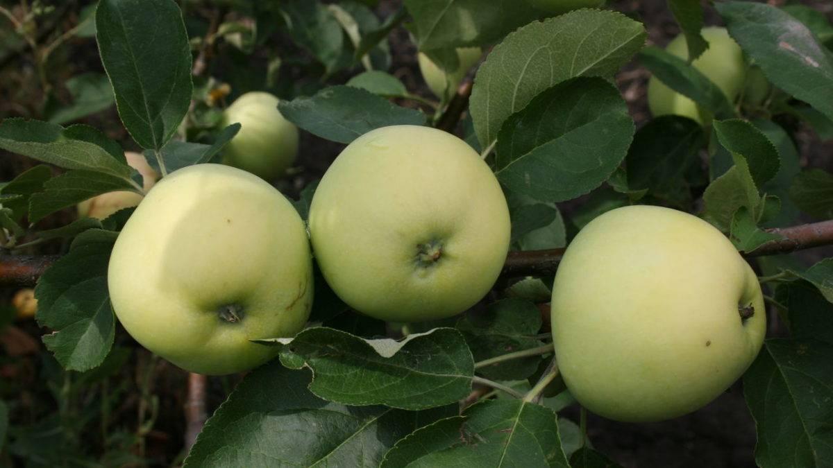 Сорт яблони белый налив (папировка): описание, фото