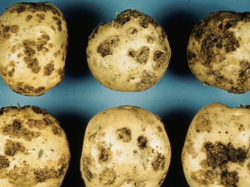 Парша картофеля: как лечить и чем обработать