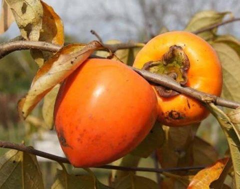 Хурма в саду - нюансы выращивания, посадки, размножения, ухода и храненияе