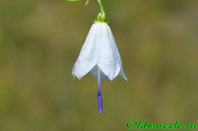 Цветок колокольчик (56 фото): персиколистный, широколистный, карпатский, выращивание из семян кампанулы садовой