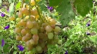 Виноград кишмиш: лучшие сорта с фото и описанием, советы по выращиванию