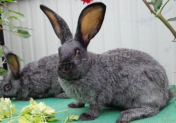 Серебристый кролик, он же полтавское серебро | кролики. разведение и содержание в домашних условиях