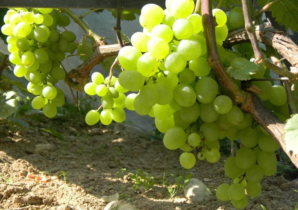 Обрезка винограда осенью: инструкция для начинающих