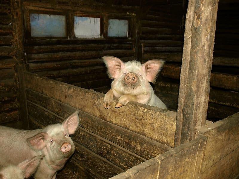 Узнаем, как сделать сарай для свиней самостоятельно – инструкции + видео