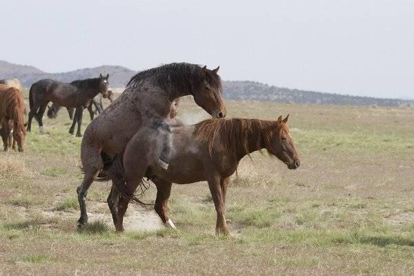 Процесс спаривания лошадей от а до я: что нужно знать коневладельцам?