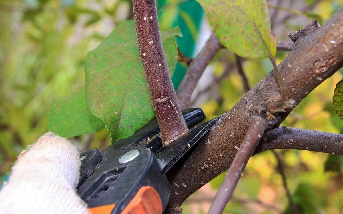 Обрезка яблони осенью для начинающих в картинках пошагово: схемы