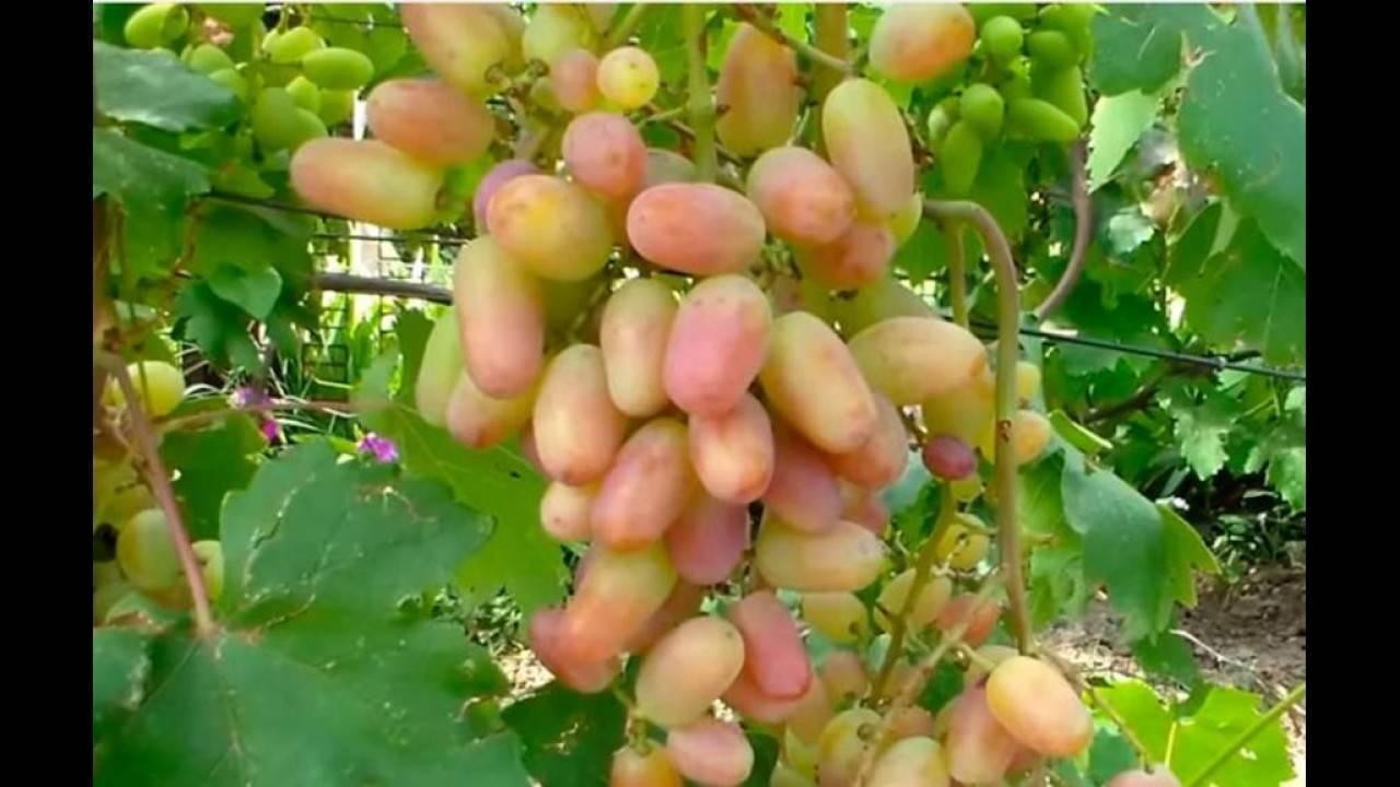 Виноград «виктор»: характеристика, описание сорта, фото, отзывы