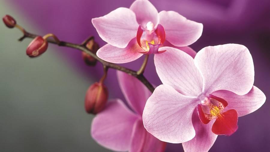 Спасение красоты — почему у орхидеи вянут цветы, опадают бутоны и что можно предпринять?