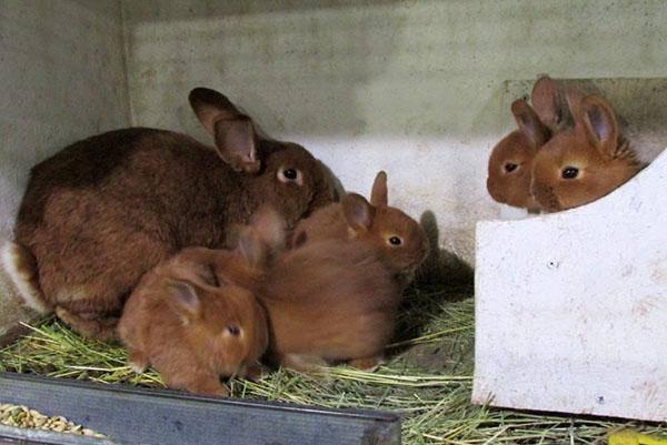 Когда отсаживать крольчат от крольчихи: возраст молодняка, виды и сроки успешной отсадки