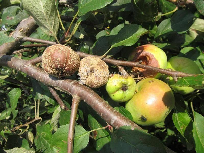 Болезни коры яблонь и их лечение, как избавиться от короеда, лишайника и других вредителей + фото