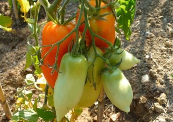 Описание гибридного томата корнабель и выращивание сорта рассадным способом