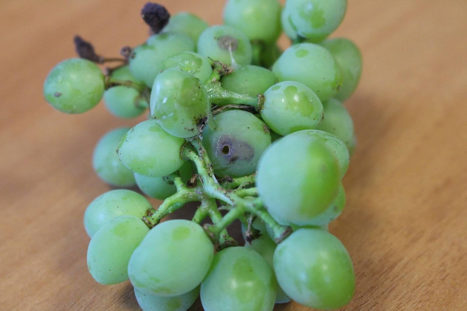 Листовертка на винограде: вред, меры борьбы и профилактики