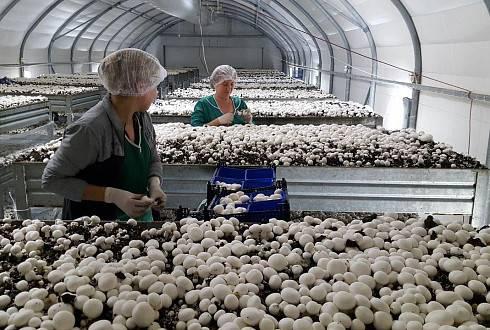 Выращивание грибов как бизнес: с чего начать, оборудование, технология, рентабельность
