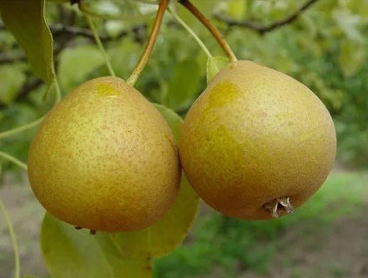 Груша нарядная ефимова: описание и характеристика, особенности выращивания и ухода, фото