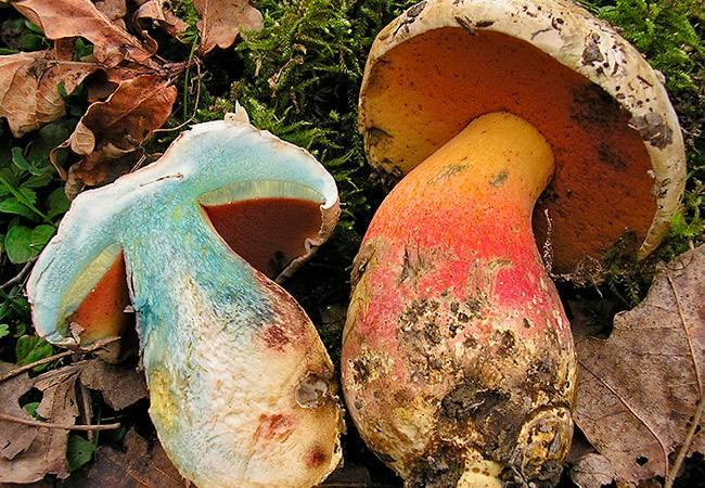Гриб боровик — описание и фото, рецепт приготовления белых грибов, методы выращивания боровиков. | cельхозпортал