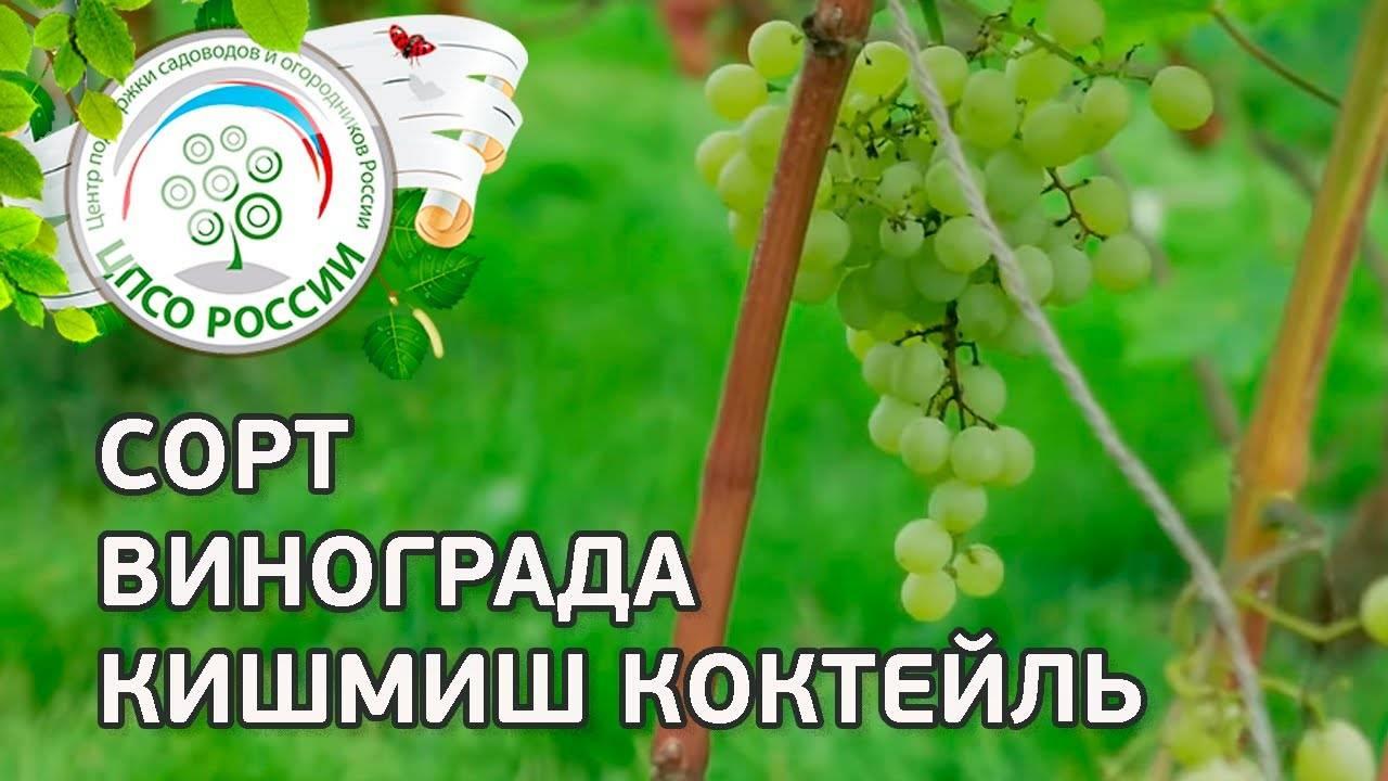 Виноград блестящий : что нужно знать о нем, описание сорта, отзывы