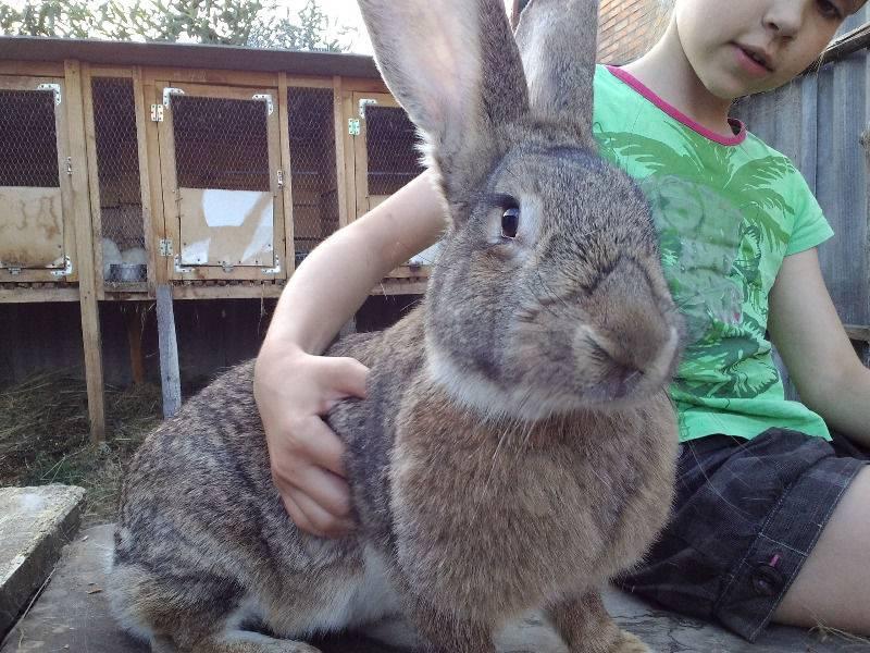 Порода кроликов ризен: как содержать гиганта?