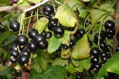 Морозоустойчивый сорт черной смородины багира