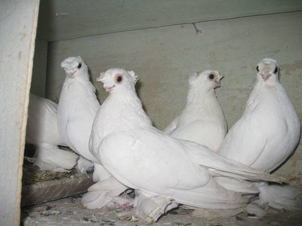 Узбекские голуби: породы и виды голубей, особенности пород, распространение