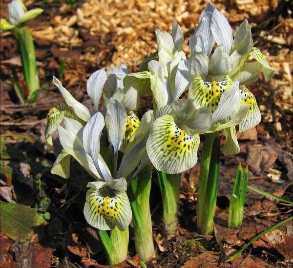Ирисы: посадка в открытый грунт и уход, выращивание в саду
