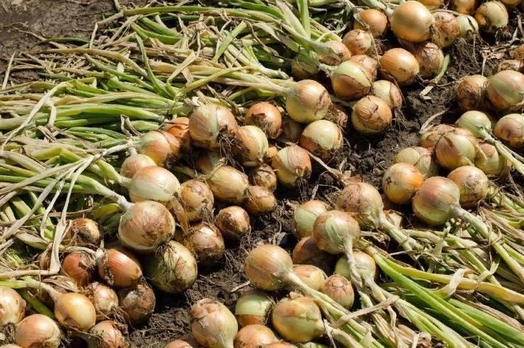Лук штутгартер ризен: описание сорта, выращивание и уход