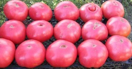 Отличный сорт для любителей крупноплодных сладких помидоров — томат «розовый гигант»