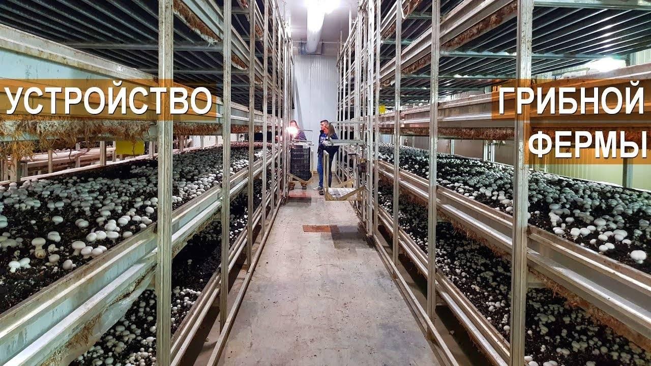 Выращивание шампиньонов как бизнес: отзывы и советы