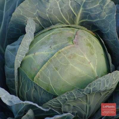 Поздние сорта капусты белокочанной для россии
