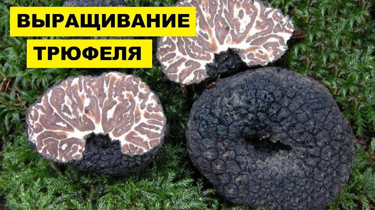 Самые дорогие грибы в мире: названия и стоимость | интересный сайт