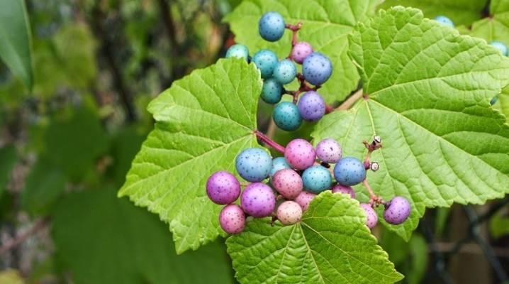 Виноградовник аконитолистный