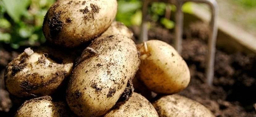 Какие удобрения применять для картофеля в лунку