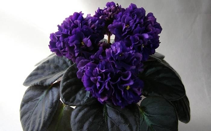 Чёрные фиалки: фото и названия таинственных цветов