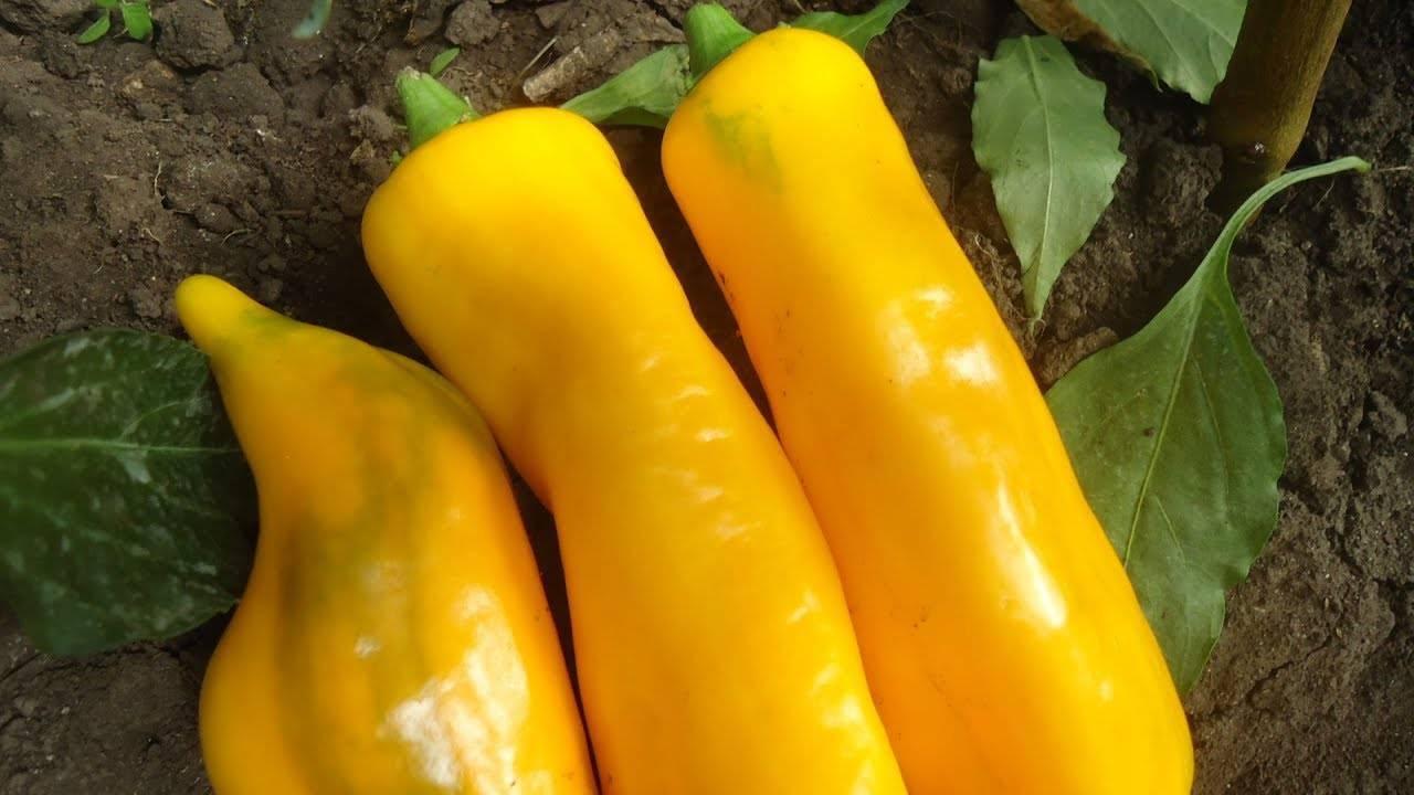 Перец желтый колокол: описание позднего сорта, отзывы дачников, фото урожая и правила выращивания