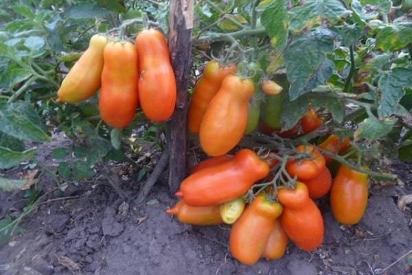 Томат дрова: описание сорта, фото помидоров и отзывы начинающих и опытных дачников, а также рекомендации по уходу за рассадой и кустами