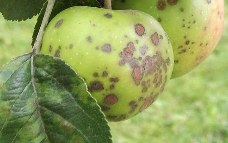 Болезни яблони и их лечение: своевременная и квалифицированная помощь